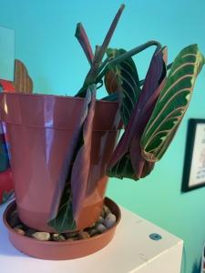 living prayer plant